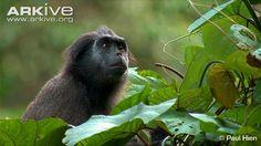 Siberut Island pig-tailed snub-nosed monkey - View amazing Pig-tailed langur photos - Simias concolor - on Arkive Animal Faces, Primates, Endangered Species, Archipelago, Southeast Asia, Old World, Shark, Monkey, Wildlife