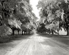 "Avenue of Oaks: 1938. ""Boone Hall, avenue of trees, Mount Pleasant vicinity, Charleston County, South Carolina."" 8x10 negative by Frances Benjamin Johnston   Shorpy Historical Photo Archive"