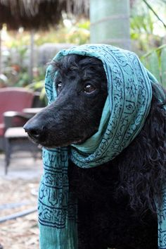black standard poodle with a scarf.