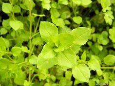 Στελλάρια η φαρμακευτική Herbs, Plants, Blog, Herb, Blogging, Plant, Planets, Medicinal Plants