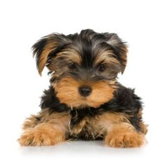 yoshier yorkie short haired | by yorkie 1 follower is a yorkie right for you and your family so cute awwwwww