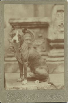 c.1890s oversized cabinet card of Staffordshire terrier sitting in photographer's studio, in front of elaborate architectural props. Photo by Collins, Greencastle, PA. From bendale collection