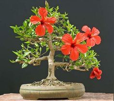 Hibiscus 30 years old