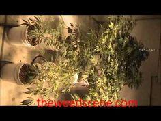 How to flush marijuana plants nutrients in hydroponics
