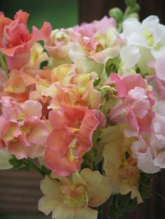 Madame Butterfly snapdragons.... My Moma Loved Snapdragons!!!