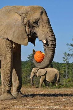 Elephant Sanctuary  - African Flora and Tange with the first pumpkins of the year! Elephant Love, Elephant Art, African Elephant, Beautiful Creatures, Animals Beautiful, Adorable Animals, Tame Animals, Elephants Never Forget, Elephant Illustration