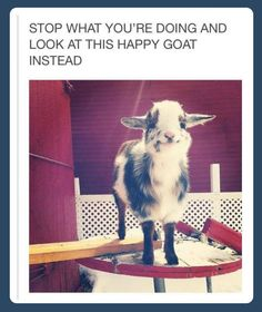 Stop what you're doing and look at this happy goat instead!!!
