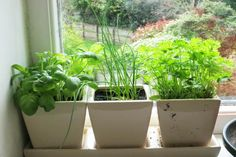 Разведение зелени на подоконнике обычной квартиры позволяет без особого труда обеспечить ее обитателей свежими витаминами круглый год. Выращиванием зелени на подоконнике увлекаются многие домохозяйки....
