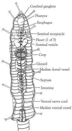 Open Versus Closed Circulatory System: Dissection of the Crayfish and Earthworm Biology Lessons, Science Biology, Teaching Biology, Science Lessons, Life Science, Earth Science, Science Experiments, Ap Biology, Physical Science