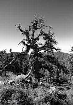 Landscape Photography by Lanewood Studio. Scraggly tree on Mt. Pinos in the Los Padres National Forest.