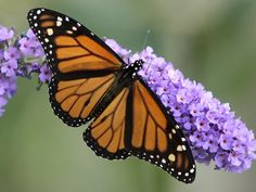 A Butterfly Bush has attracted the attention of a Monarch Butterfly  -  As mentioned above, butterflies have sensory receptors on their antenna for smell. These are also present on their legs and other parts of their body. They use smell to locate food and in finding a mate as well.