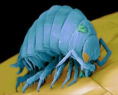 Coloured scanning electron micrograph (SEM) of a pill woodlouse