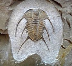 Albertella longwelli Trilobite | #Geology #GeologyPage #Trilobite #Fossil Name: Albertella longwelli (Palmer & Halley 1979) Age: Middle Cambrian Location: Carrara Formation Pahrump Nevada U.S.A. Size: 8 cm Photo Copyright American Museum of Natural History Geology Page www.geologypage.com