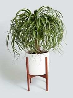 how to take care of a ponytail palm
