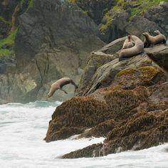 "sea lions, Haida Gwaii islands, British Columbia, Canada ""come on in"" (by ChanHawkins) Haida Gwaii, Canadian Travel, Viewing Wildlife, Pacific Coast, Pacific Northwest, West Coast, Vancouver Island, Sea Creatures, Strange Creatures"
