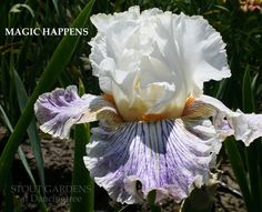 Stout Gardens at Dancingtree - Iris MAGIC HAPPENS