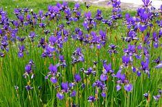 Strandiris. Iris sibirica. Lättskött, anpassningsbar och torktålig. Den behöver dessutom bara sol under halva dagen för att klara sig och blomma. Vill stå väldränerat.