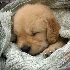 "32 k mentions J'aime, 502 commentaires - I Love Golden Retrievers (@ilovegolden_retrievers) sur Instagram : ""Sleep well little one @izzy_heart_of_gold"""