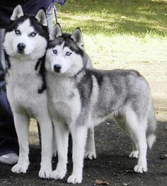 Siberian Husky Dog - Knowledge Base LookSeek.com
