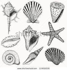 Shell drawing, Conch and Conch shells on Pinterest