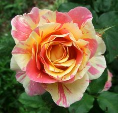 """Deeper shades. This rose is called """"Claude Monet"""""""