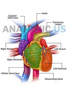 Anatomy Flashcards, Heart Anatomy, Exam Review, Nursing, Massage, Massage Therapy, Breast Feeding, Nurses