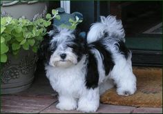 Google Image Result for http://www.poseycanyon.com/images/posey-canyon-havanese-1.jpg