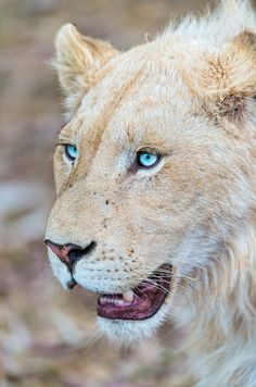 Lion with stunning eyes