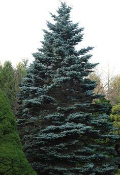 The Colorado state tree so called.. Colorado Blue Spruce