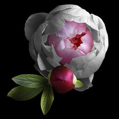 Peony Duo (Explore) - Growing Peonies - How to Plant & Care for Peony Flowers Art Floral, Motif Floral, Peony Flower, Flower Art, Cactus Flower, Pink Flowers, Beautiful Flowers, Exotic Flowers, Yellow Roses