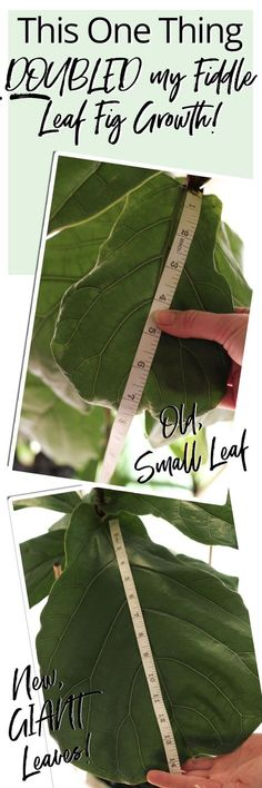 How, when and what fertilizer to use on your Fiddle Leaf Fig to maximise its growth - both in bushiness and height! DON'T miss this crazy good growth hack! art design landspacing to plant House Tree Plants, Indoor Tree Plants, Trees To Plant, Plants You Can Regrow, Acid Loving Plants, Fiddle Leaf Fig Tree, Garden Plants, Herb Garden, Garden Art