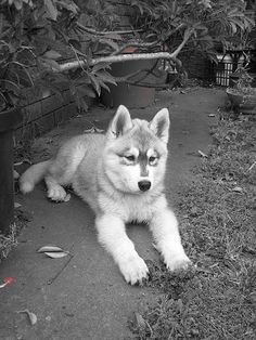 Siberian Huskies Puppies...I want a husky soooo bad!!!!!!