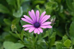 Dimorphotheca jucunda (Trailing Mauve Daisy)