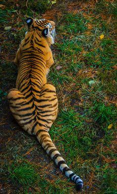 tiger617 by redbeard31