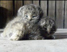 So cute baby pallas Rare Cats, Exotic Cats, Cute Little Kittens, Cats And Kittens, Felis Manul, Pallas's Cat, Baby Animals, Cute Animals, Small Wild Cats