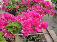 Great tips for care of bougainvilleas... wish I still had mine... best plant EVER!