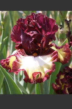 Hybridizer's Comment: Solid dark russet wine standards, ruffled and closed, sit atop ruffled, semi-flaring ivory cream falis ringed by a classic half-inch band of color matching standards. Solid slightly browner hafts cover the upper...