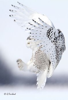 Schneeeule - Snowy Owl by G. Beautiful Owl, Animals Beautiful, Cute Animals, Owl Photos, Owl Pictures, Owl Bird, Pet Birds, Lechuza Tattoo, Owl Wings