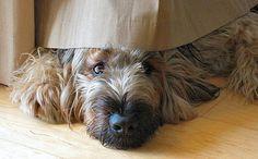 briard dog photo | Franze the Briard | Dogs | Daily Puppy