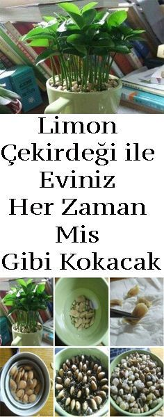 Çekirdeği ile Eviniz Her Zaman Mis Gibi Kokacak Planting lemon pits causes plants what makes your house smell nice and fresh.Planting lemon pits causes plants what makes your house smell nice and fresh. Organic Gardening, Gardening Tips, Gardening Books, Gardening Vegetables, Gardening Gloves, Vegetable Garden, Lemon Seeds, Contemporary Decor, Horticulture