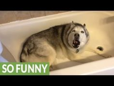 Zeus the husky knew it was time for his walk, but he was much more in the mood for a bath, as usual. When his mom wouldn't turn on the water, Zeus decided to take drastic measures . in the form of the most adorable temper tantrum ever. Animals And Pets, Funny Animals, Cute Animals, Bane, Dog Whining, Game Mode, Dog Throw, Siberian Huskies, Funny Dogs