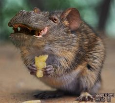 Hippopotomouse.   21 Cute But Vaguely Unsettling Animal Mashups