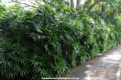 Back Garden Design Pool Plants, Privacy Plants, Outdoor Plants, Outdoor Gardens, Garden Plants, Tropical Garden Design, Back Garden Design, Tropical Plants, Palm Trees Landscaping