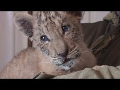 The Sad Truth Behind This Adorable Video of a Newborn Liger | One Green Planet