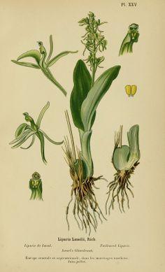 0159-orchidee---liparis-de-loesel---liparis-loeselii.jpg (969×1600)