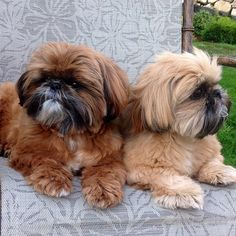Shih Tzu Brothers ... Freddie and Jack. Can you say double cuteness
