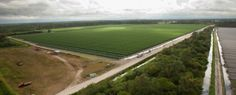 Tomato fields span the area around Immokalee. From November to May, 90% of tomatoes sourced domestically and consumed in the United States are picked by farmworkers in and around Immokalee.