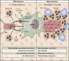 """""""Cloaking"""" on Time: A Cover-Up Act by Resident Tissue Macrophages"""