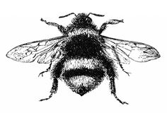 Bumblebee illustration from c. 1850's Natural History book.