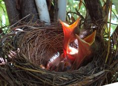 usfws - These young robins are safe and sound inside their nest, but that's not always the case. Do you know what to do if you find a baby bird outside its nest? Check the link in our bio to learn more! Vertebrates, Robins, Nest, Birds, Watch, Link, Creative, Check, Baby